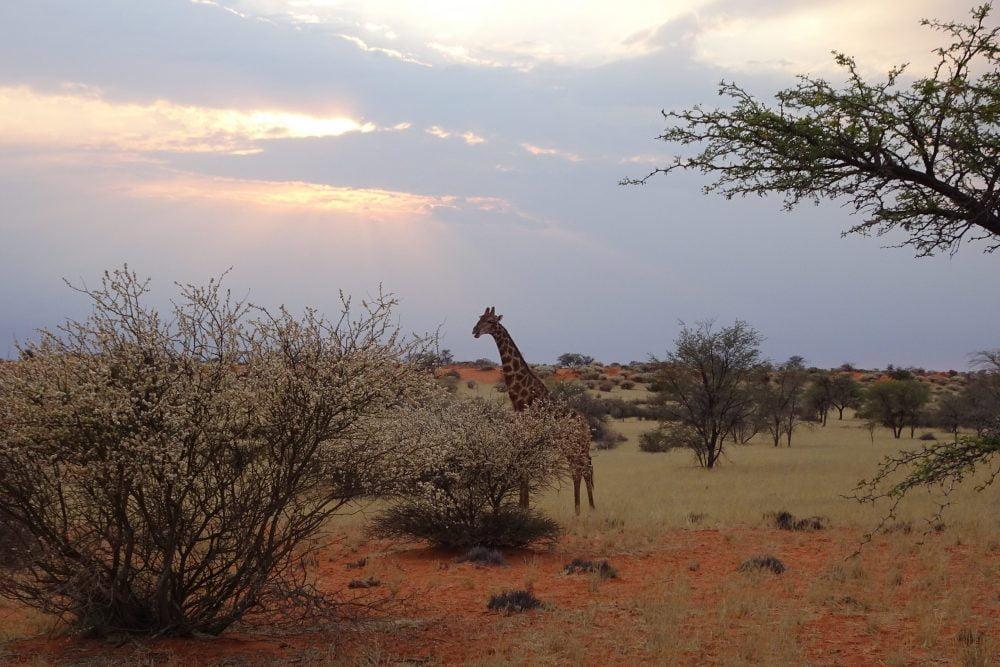 Giraf Kalahari