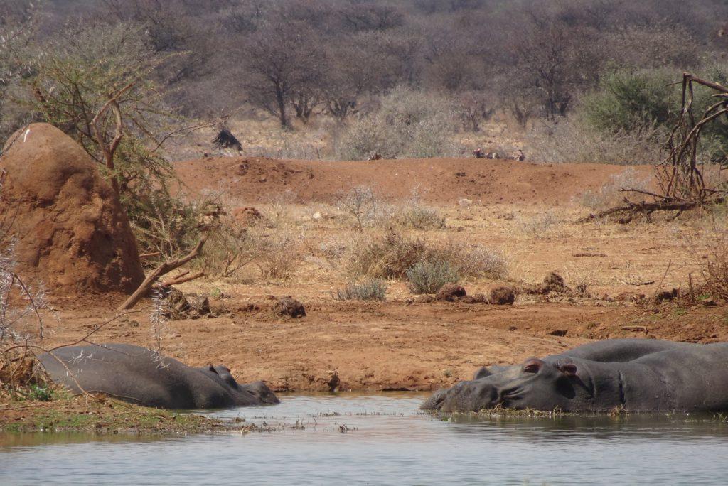 Nijlpaarden Erindi