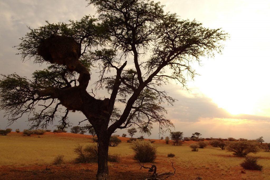 Kalahari boom