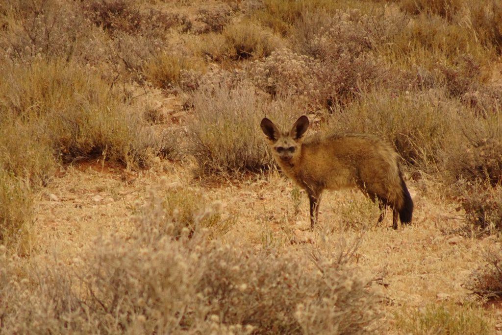 Kalahari wild