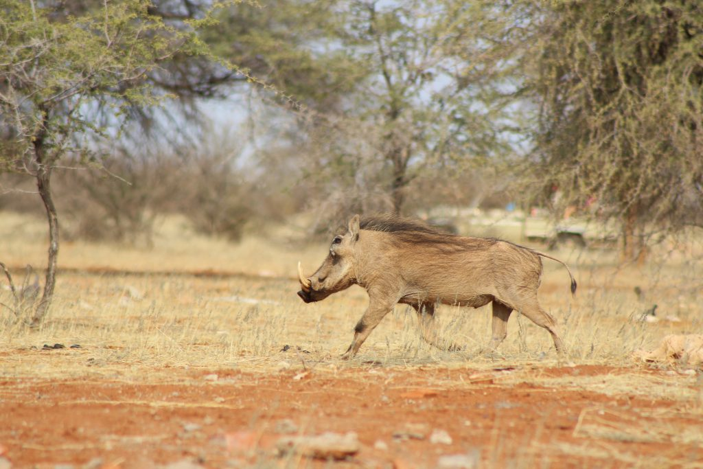 Kalahari wild zwijn